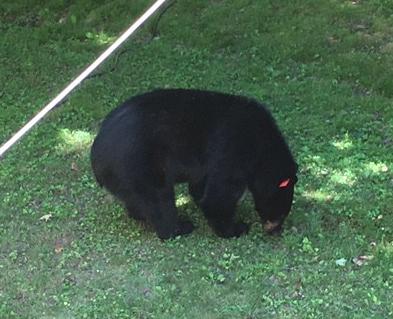 Bear 6-26-18